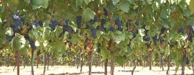 Apolloni Vineyards image
